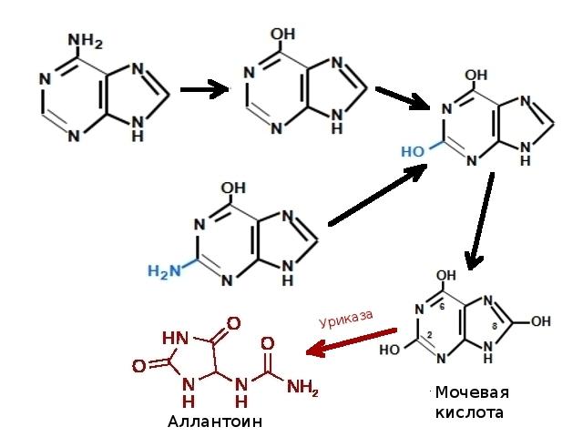 переход мочевой кислоты в аллантоин