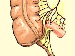 Анатомия илеоцекальной области